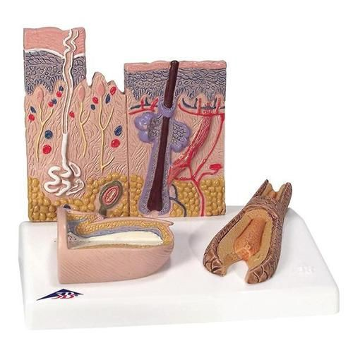 Skin, Hair, and Nail Microscopic Structures Model