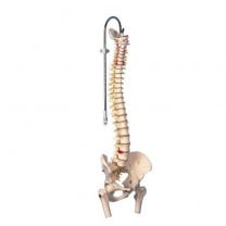 Highly Flexible Spine Model with Femur Heads