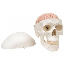 Classic Human Skull Model with 5 Part Brain