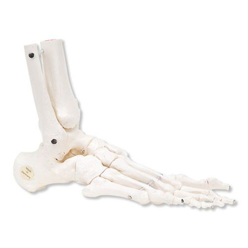 Loose Foot and Ankle Skeleton Model