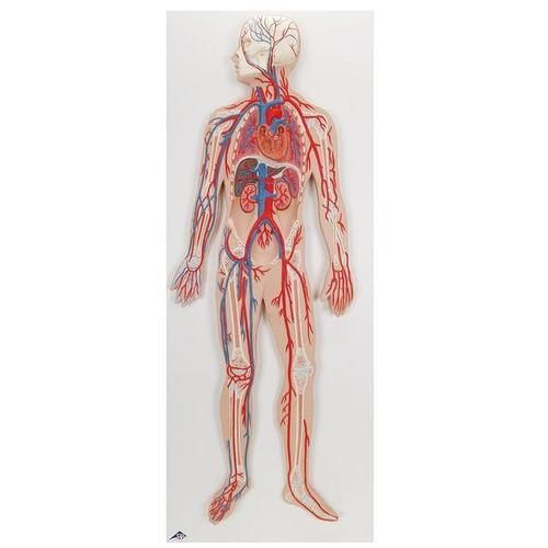 Circulatory System Relief Model
