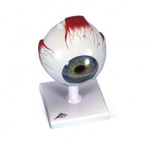 Human Eye Model 3 - 5x Full-Size, 6 - 7 Part