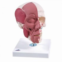Anatomical Human Skull Model