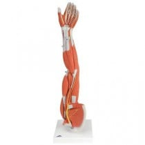 Muscle Arm