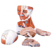 Head and Neck Musculature Model