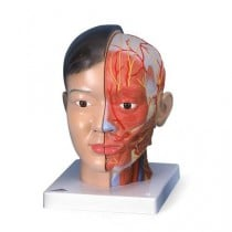 Asian Deluxe Head with Neck Model