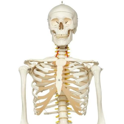 Flexible Human Skeleton Model
