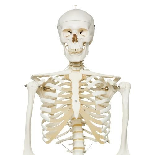 Life Size Human Skeleton Model