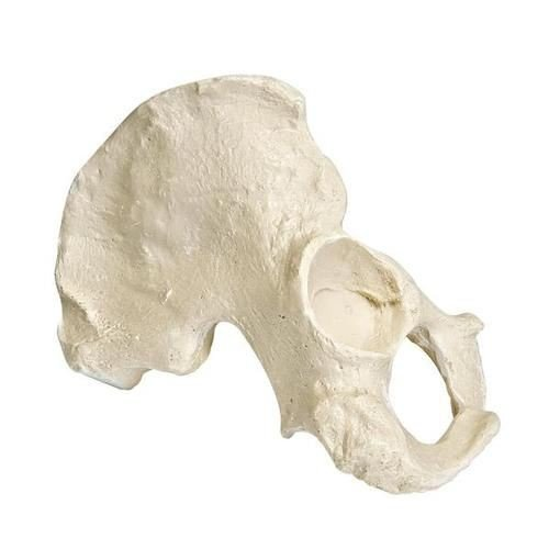 ORTHObones Premium Right Half Pelvis - Male