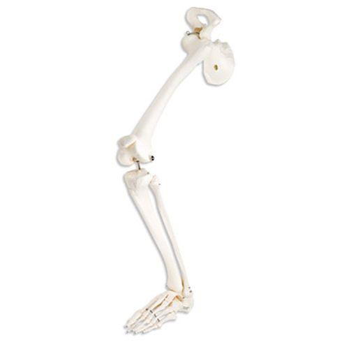 Leg Skeleton Model with Hip Bone