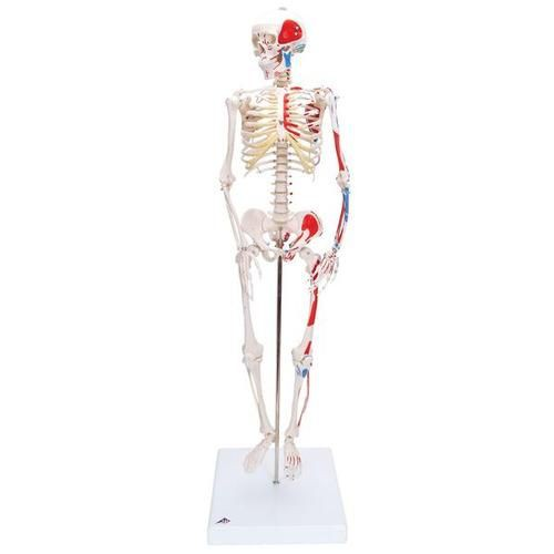 Mini Human Skeleton Model