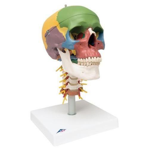 Didactic Human Skull Model on Cervical Spine