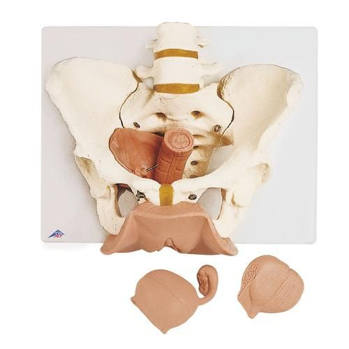 Female Pelvis Skeleton with Genital Organs
