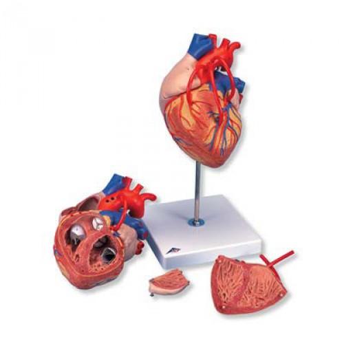 Bypass Heart Model
