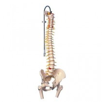 Deluxe Flexible Spine Model with Femur Heads