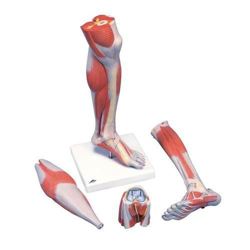 Lower Muscle Leg Model with Detachable Knee