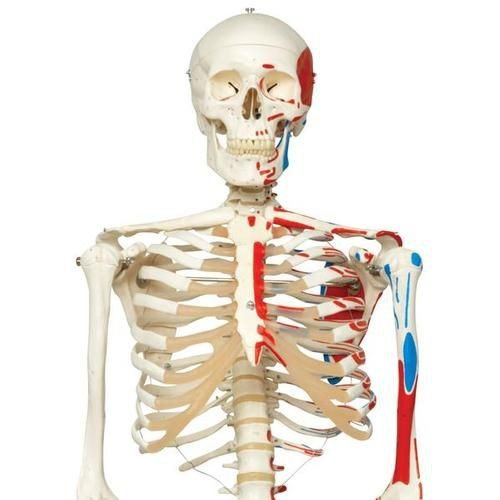 Human Skeleton Model with Painted Muscle Origins and Inserts
