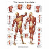 Human Muscle Chart Poster