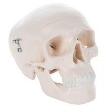 Mini Human Skull Model