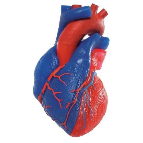 Magnetic Heart Model, Life Size, 5 Parts