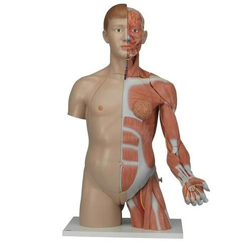 Life-Size Dual Sex Torso with Muscle Arm