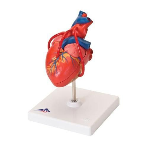 Classic Heart with Bypass Model