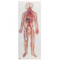 Circulatory System Relief Model