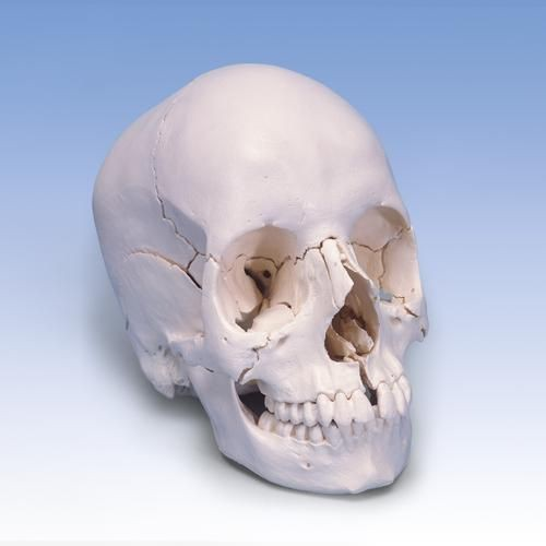 Beauchene Adult Human Skull Model