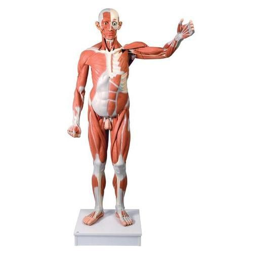 Life Size Male Muscular Figure