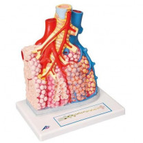 Pulmonary Lobule Lung Model