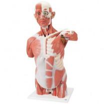 Life Size Muscle Torso