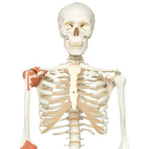 Skeleton Model with Ligaments