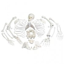Disarticulated Full Human Skeleton Model