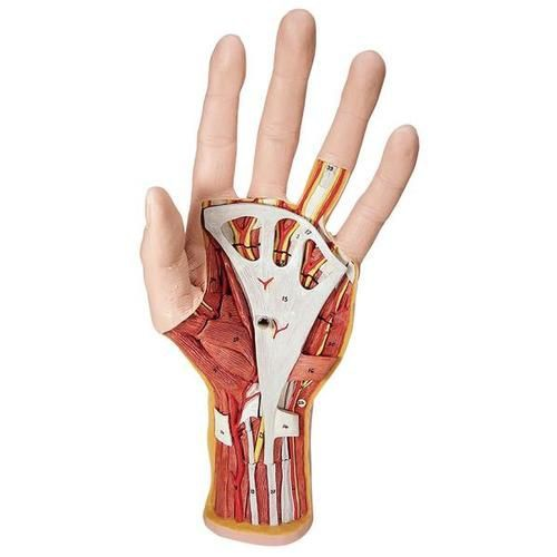 Internal Hand Structure Model