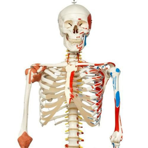 Human Skeleton Model with Muscles and Ligaments