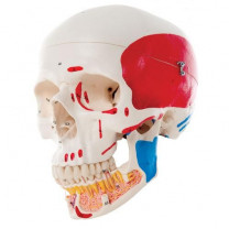 Classic Human Skull Model with Opened Lower Jaw