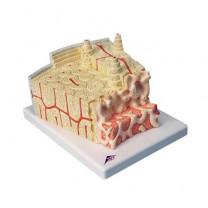 3B MICROanatomy Bone Structure