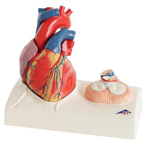 Magnetic Heart Model, Life Size, 5 Part G01