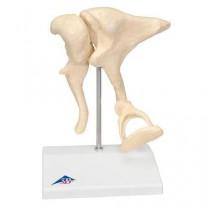 Ear Bones Model