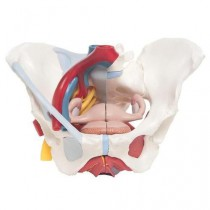 Female Pelvis Model with Ligaments, Vessels, Nerves, Pelvic Floor, Organs