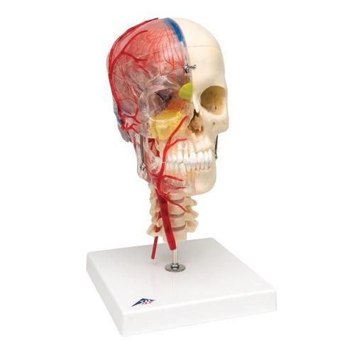 BONElike Human Skull Model, Half Transparent and Half Bony - Complete with Brain and Vertebrae
