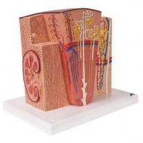 3B MICROanatomy Kidney Model