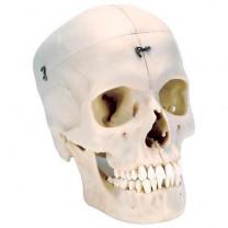 BONElike Human Bony Skull Model