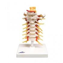 Cervical Spinal Column
