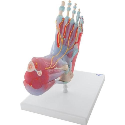 Foot Skeleton Model - Ligaments & Muscles