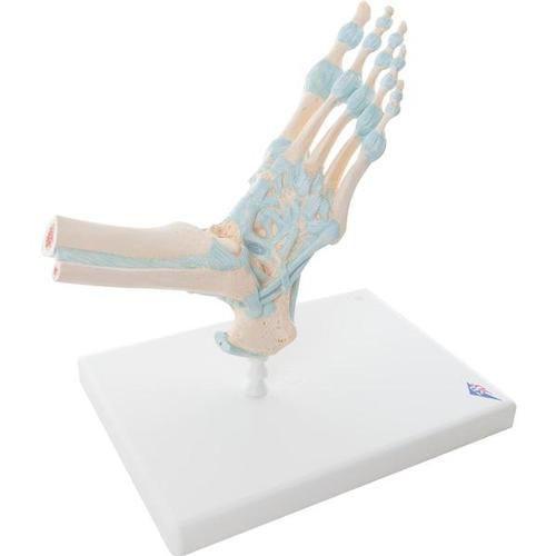 Foot Skeleton Model