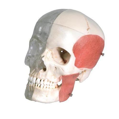 BONElike Human Skull Model, Half Transparent and Half Bony