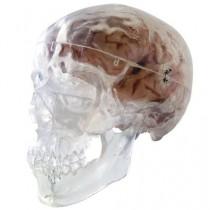 Transparent Classic Human Skull Model
