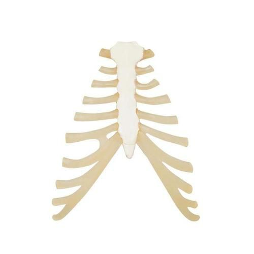 Sternum with Rib Cartilage Model