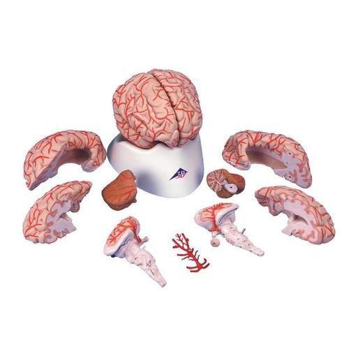 Brain Model with Arteries